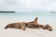 Group of Galapagos sea lions sleeping on a beach Royalty Free Stock Photography