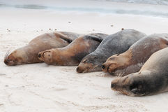 Group of Galapagos sea lions sleeping on a beach Royalty Free Stock Photo