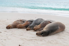 Group of Galapagos sea lions sleeping on a beach Stock Images