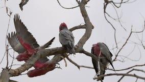 Group gang-gang cockatoos in a tree flying away in slow motion in Kalbarri, Western Australia stock video