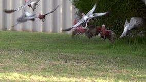 Group gang-gang cockatoo flying away in slow motion in Kalbarri, Western Australia stock video