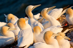 A group of gannets. On a rock Royalty Free Stock Photography