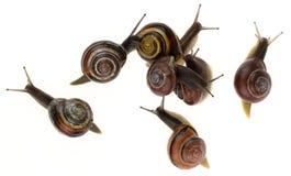 Group of garden snails (Helix aspersa) Stock Photography
