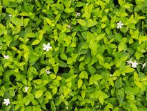 Group of The Gardenia. In The Garden stock images