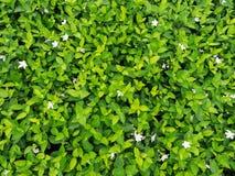 Group of The Gardenia. In The Garden stock photos
