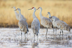 Group gathering of sandhill cranes Royalty Free Stock Photos
