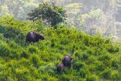 Group of  Gaur (Bos gaurus laosiensis) Stock Photography