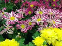 Group of gazania flowers of different beautiful colors stock photos
