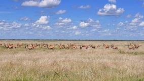 Group of gazelle Stock Photo