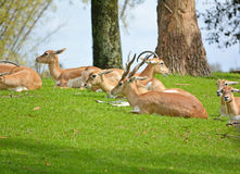 Group of the gazelle Royalty Free Stock Image