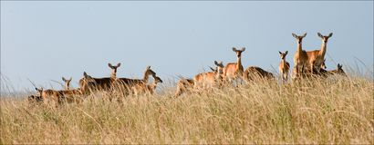 Group of gazelles. Stock Photos