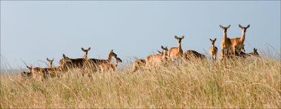 Group of gazelles. stock photos