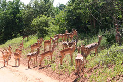 Gazelles in Africa Royalty Free Stock Photos