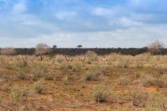 Herd of gazelles in the savannah royalty free stock photo