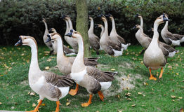 A group of geese Stock Photos