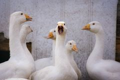 Group of geese in the barnyard Stock Photography