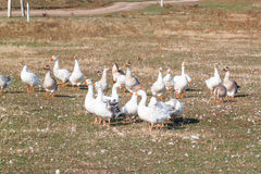 Group of geese in the barnyard Royalty Free Stock Photography