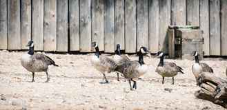 Group of geese Royalty Free Stock Images