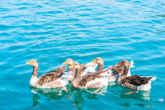 Group of geese floating Royalty Free Stock Image