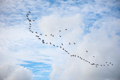 Group of geese flying in a blue sky with white clouds Royalty Free Stock Photo