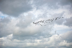 Group of geese flying in a cloudy sky Royalty Free Stock Photo