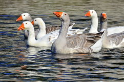 Group of geese Stock Photography
