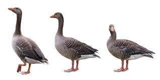 A group of geese isolated on a white background royalty free stock photo