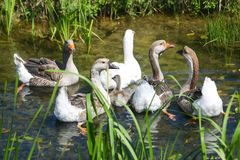 Group of geese in marshy pond Stock Photo