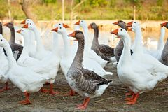Geese on the poultry farm. Royalty Free Stock Photo