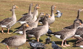 Group of geese Stock Photos