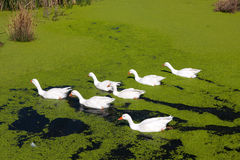 Group of geese Stock Image