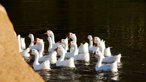 A group of geese. Swimming in the water Royalty Free Stock Photo