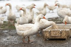 A group of geese in the white snow in the winter season drinking water royalty free stock photography