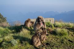 Group of Gelada Monkeys in the Simien Mountains, Ethiopia. Group of Gelada Monkeys in the Simien Mountains in Ethiopia royalty free stock image