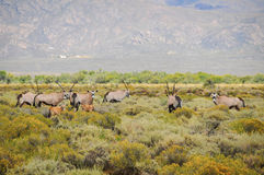 Gemsbok antelopes with calfs at South African bush Stock Images