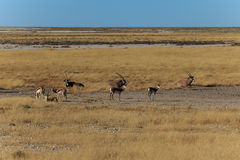 Group gemsbok or gemsbuck oryx and impala Royalty Free Stock Photo