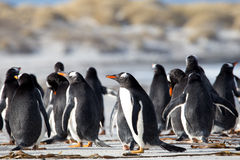 Group of Gentoo Penguin (Pygoscelis papua) together on a beach. Stock Image
