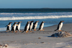 Group of Gentoo Penguins (Pygoscelis papua) on the beach Stock Photo