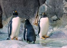 Group of Gentoo penguins on the rock. Cute animals close-up. Funny birds in the nature Royalty Free Stock Photography