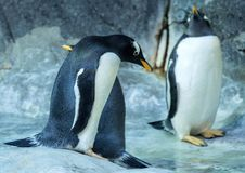 Group of Gentoo penguins on the rock. Cute animals close-up. Funny birds in the nature Stock Photos