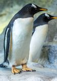 Group of Gentoo penguins on the rock. Cute animals close-up. Funny birds in the nature Royalty Free Stock Photos