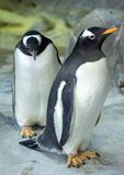 Group of Gentoo penguins on the rock. Cute animals close-up. Funny birds in the nature Stock Images