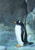 Group of Gentoo penguins on the rock. Cute animals close-up. Single Gentoo penguin on the rock background. Side view of penguin standing on the rock. Cute Stock Photography