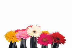 Group of Gerber Daisies on white. Royalty Free Stock Photo