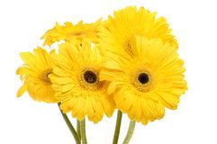 Gerbera daisy flowers. Group of gerbera daisies isolated against white stock images