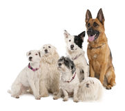Group of german shepherd, border collie and some c
