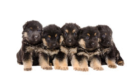 Group of German Shepherd puppies Royalty Free Stock Photo