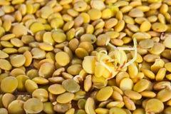 Group of germinate lentil on lentil background, health food, leg. Ume royalty free stock photos