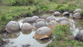 Group of giant Galapagos turtles in muddy water and grass on Santa Cruz Island. stock video footage