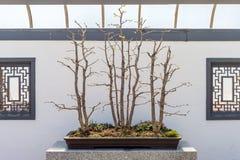 Group of Ginkgo biloba bonsai Stock Photography